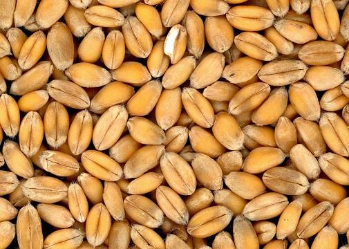 granos-de-trigo