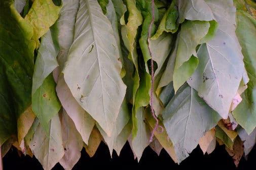 Tabaco colgado para su procesado de la hoja de tabaco